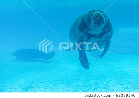 Manatee is a herbivore And breastfeeding Same family as the dugong 62089340