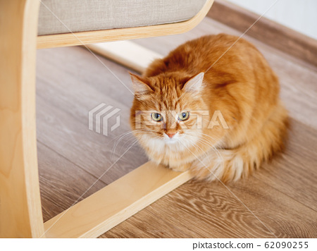 Cute ginger cat is hiding under chair with wooden legs. Fluffy pet is staring from floor. Curious domestic animal. 62090255