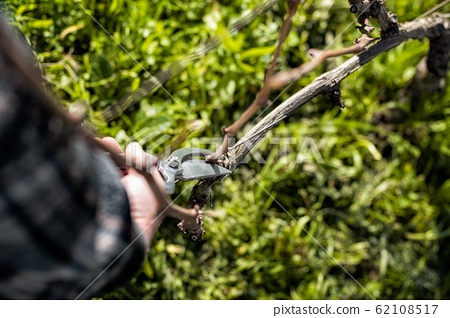 Farmer pruning the vine in winter. Agriculture. 62108517