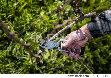 Farmer pruning the vine in winter. Agriculture. 62108519