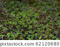 scattering of small blue flowers in a mountainous area in Poland 62120680