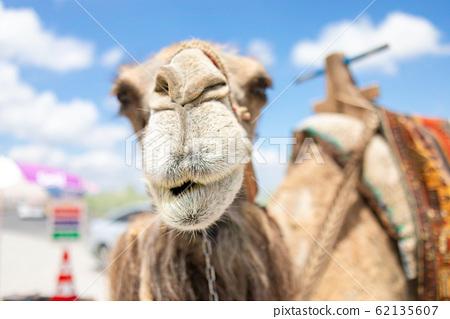 骆驼 62135607