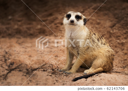 Isolated single dark bands on the back and a black-tipped tail meerkat (Suricate) sitting alone on the ground 62143706