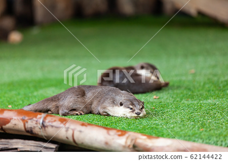 oriental small-clawed otter, Asian small-clawed 62144422