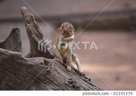 广州动物园猕猴 62145374