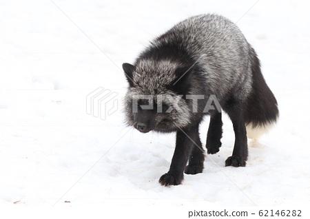 Japanese Zao Fox Village 62146282