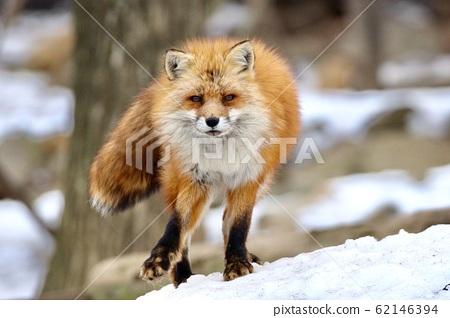 日本藏王狐狸村 62146394