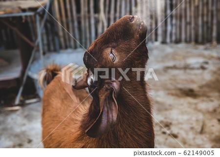 Brown goat in winter farm. 62149005