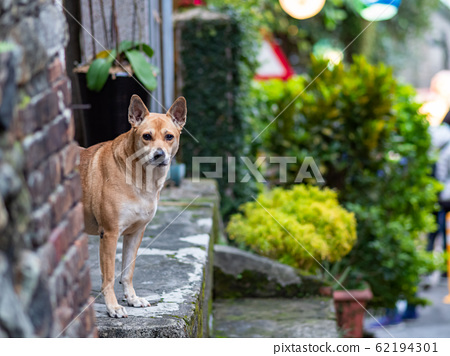 Street Stray Dogs With Ears Straight Upwards 62194301