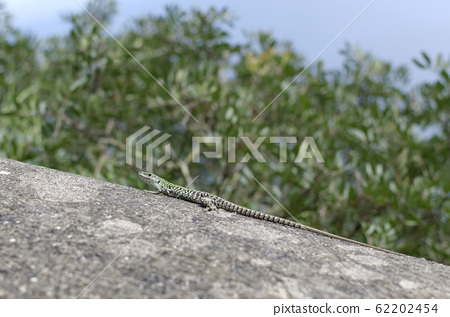 small lizard on rock detail summer photo 62202454