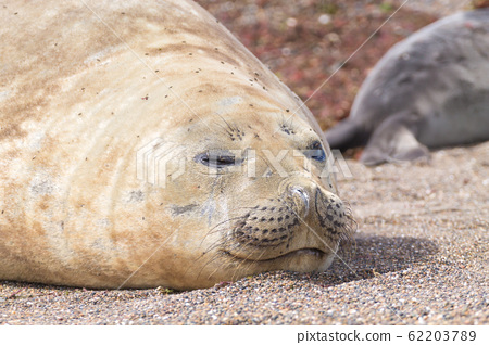 Elephant seal on beach close up, Patagonia, 62203789