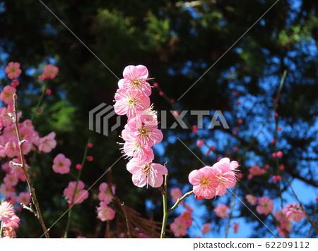 Japanese apricot 62209112