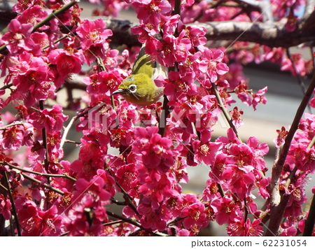 A mejiro in a blooming plum tree in the spring 62231054
