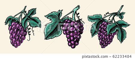 Bunch of grapes set. Berry leaves. Table fruit in vintage style. Hand drawn engraved outline sketch 62233484