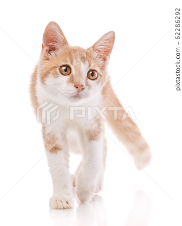 Red male cat, walking towards camera. Isolated 62286292