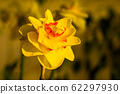 Amazing yellow huge bright daffodils in sunlight 62297930