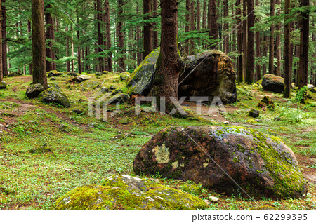 Pine forest with rocks and green moss 62299395