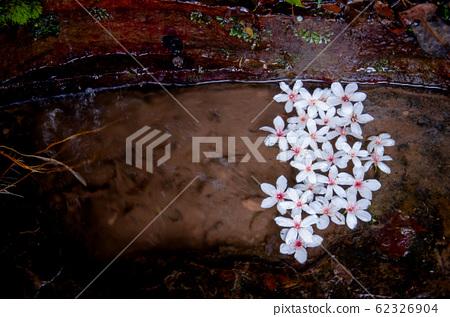 漂浮浮油頂花,五月雪,客家綠花季,木油花,苗木,米甚巴,老坑 62326904