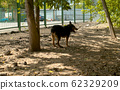 Disabled dog running near the fence 62329209