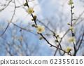 早盛開的梅花和芽 62355616