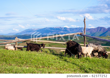 herd of goats on the alpine meadow in spring 62377252