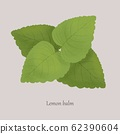 Melissa, Lemon Balm medicinal essential plant on a gray background. 62390604