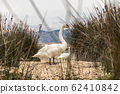 Whooper swan in natural habitat. Swans are birds of the family Anatidae within the genus Cygnus 62410842