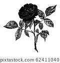 Vintage Antique Line Art Illustration, Drawing or Vector Engraving of Rose Flower 62411040