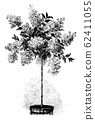Vintage Antique Line Art Illustration, Drawing or Engraving of Flowering or Blooming Hydrangea or Hortensia Tree in Plant pot. 62411055