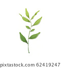 Green tea plant 62419247