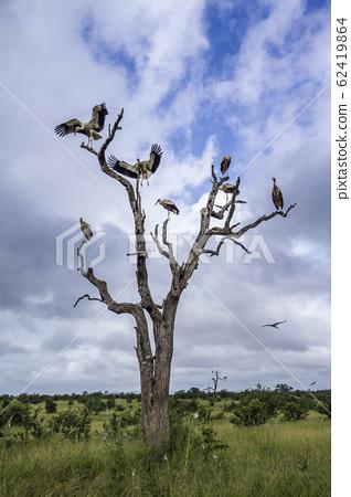 White Stork in Kruger National park, South Africa 62419864