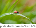 ladybug crawling on a green blade of grass 62420324