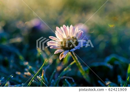 Daisy in frosty grass 62421909