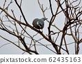 白耳畫眉鳥(Heterophasia auricularis) 62435163