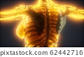 Colorful Human Body animation showing bones and 62442716