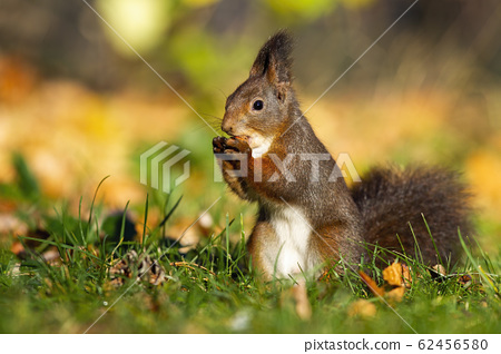 Little red squirrel holding a walnut in the middle of the park 62456580