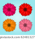 vector collection of colored realistic gerbera flowers on blue background 62481327