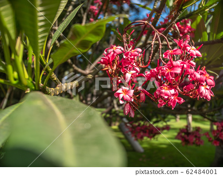 Macro image of beautiful pink and red flowers growing on tropical tree at rainforest 62484001
