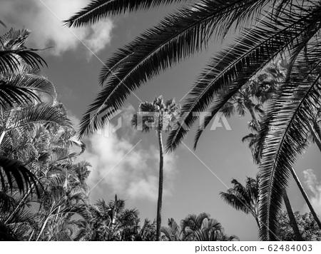 Black and white image of tropical rainforest with high palm trees 62484003