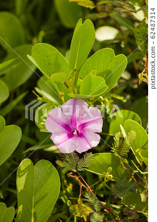 Purple flower between green leaves 62487314