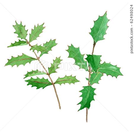 Osmanthus heterophyllus 홀리 62498024