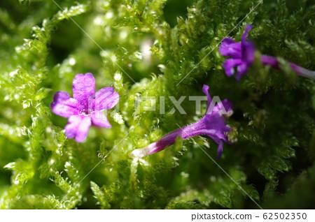 Moss and verbena petals 62502350