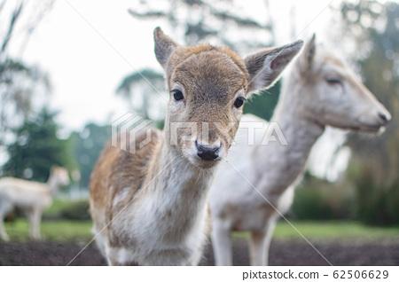 deer 62506629