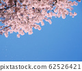 Cherry Blossoms 62526421