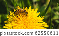 Honey bee covered with yellow pollen collecting 62550611