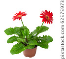 Red gerbera flower in a flowerpot isolated on a 62575973