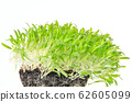 Brown millet seedlings and microgreen in potting compost with fine roots. Shoots of Panicum miliaceum, proso millet. Sprouts, green seedlings, young plants and cotyledons. Front view. Macro food photo 62605099