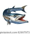 barracuda fish on white. Sphyraena barracuda. 62607973