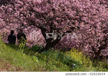 Kawazu Sakura in full bloom, Minamiizu, Shizuoka Prefecture 62616034
