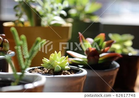 다육 식물 62617748
